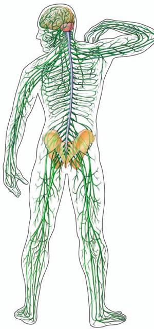 Biology Nervous System
