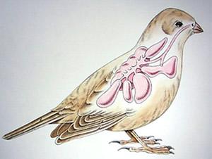 Biology Avian Respiration