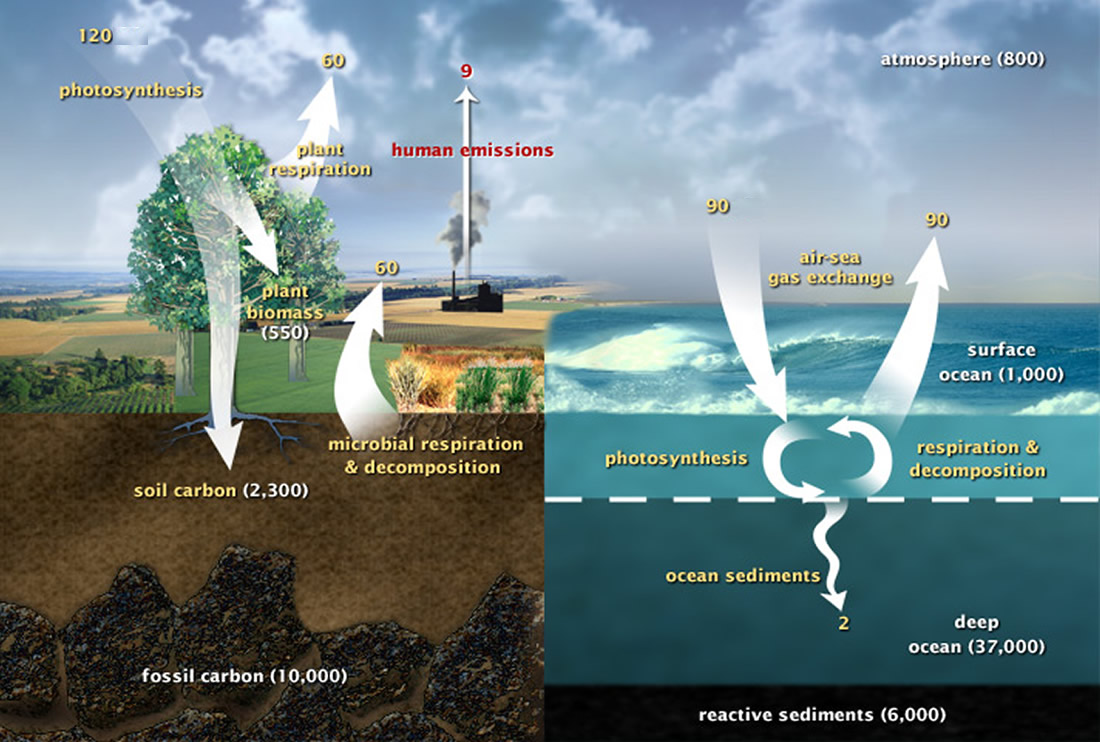 Chemistry carbon cycle above is a simplified diagram of the amount of carbon stored in different carbon sinks and the amount that cycles between the carbon sinks in gigatons ccuart Choice Image