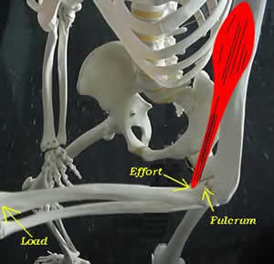 lever system of human body