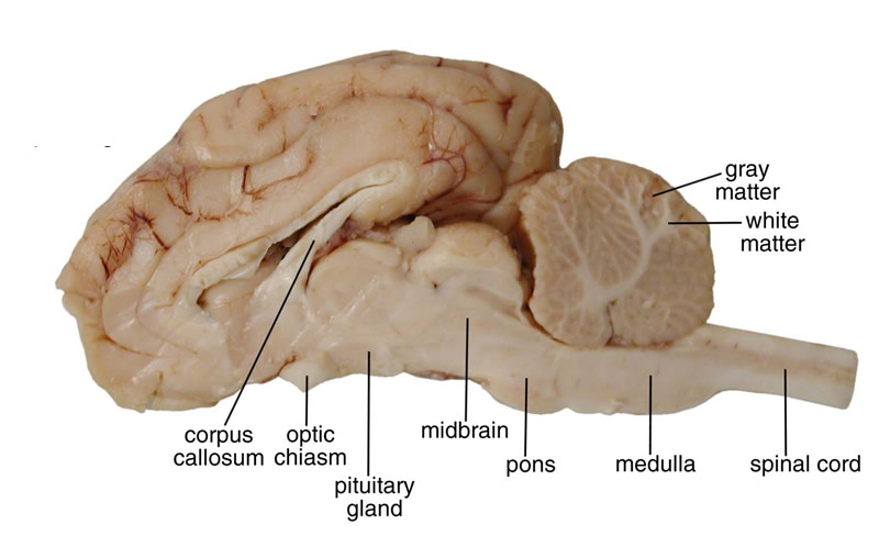 Biology brain dissection cross section ccuart Choice Image